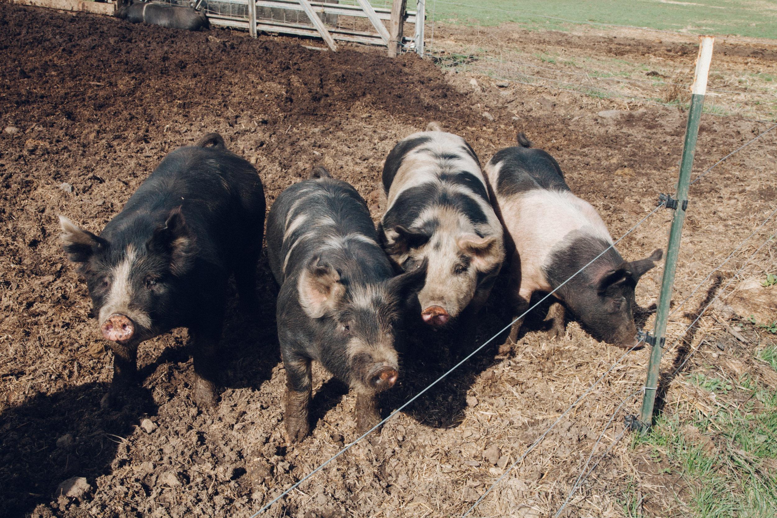 GillianEwing-StempleCreek-Pigs.jpg