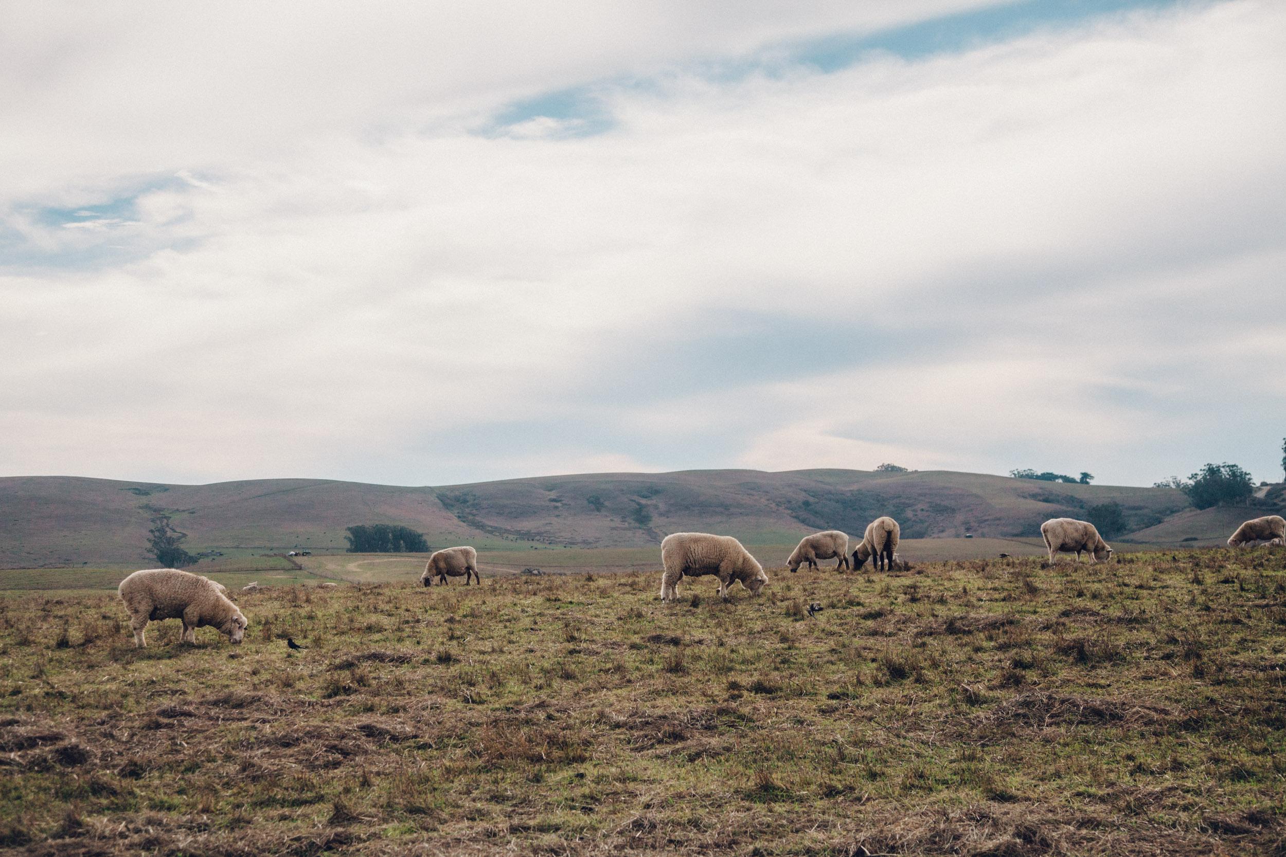 GillianEwing-StempleCreek-Sheep.jpg