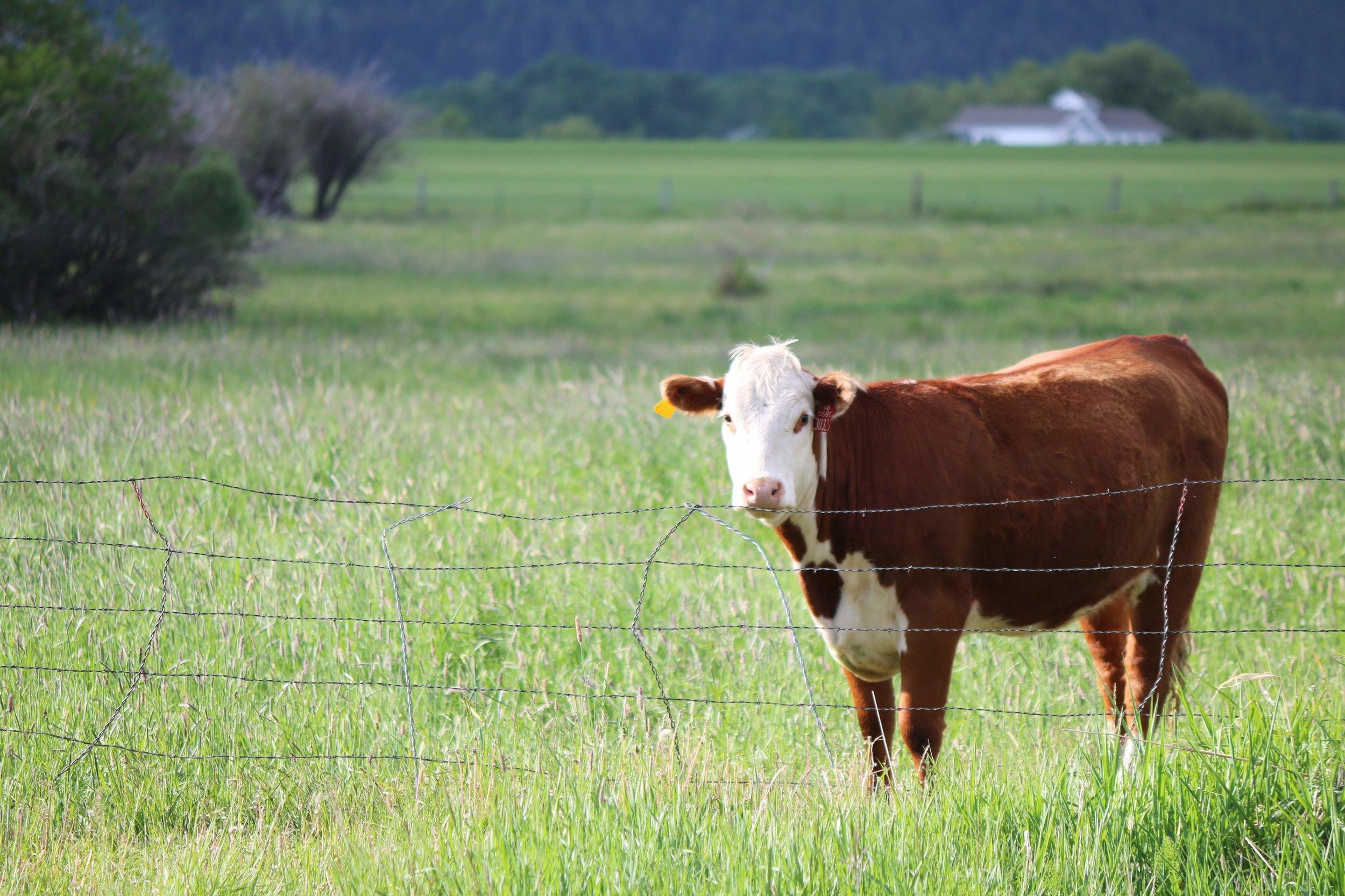 Bozeman Montana pastoral scene