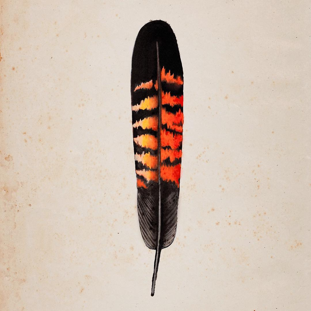 Female Red Tailed Black Cockatoo Feather