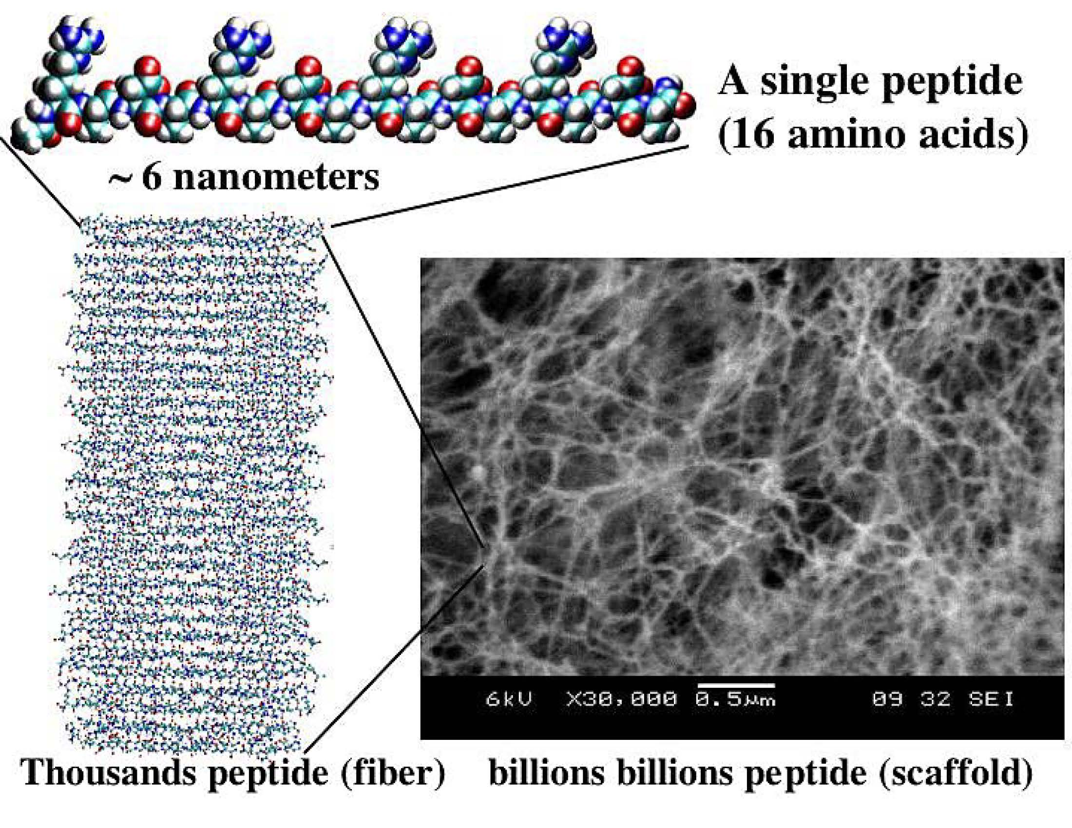 From single peptides to peptide nanofibers to a peptide scaffold.