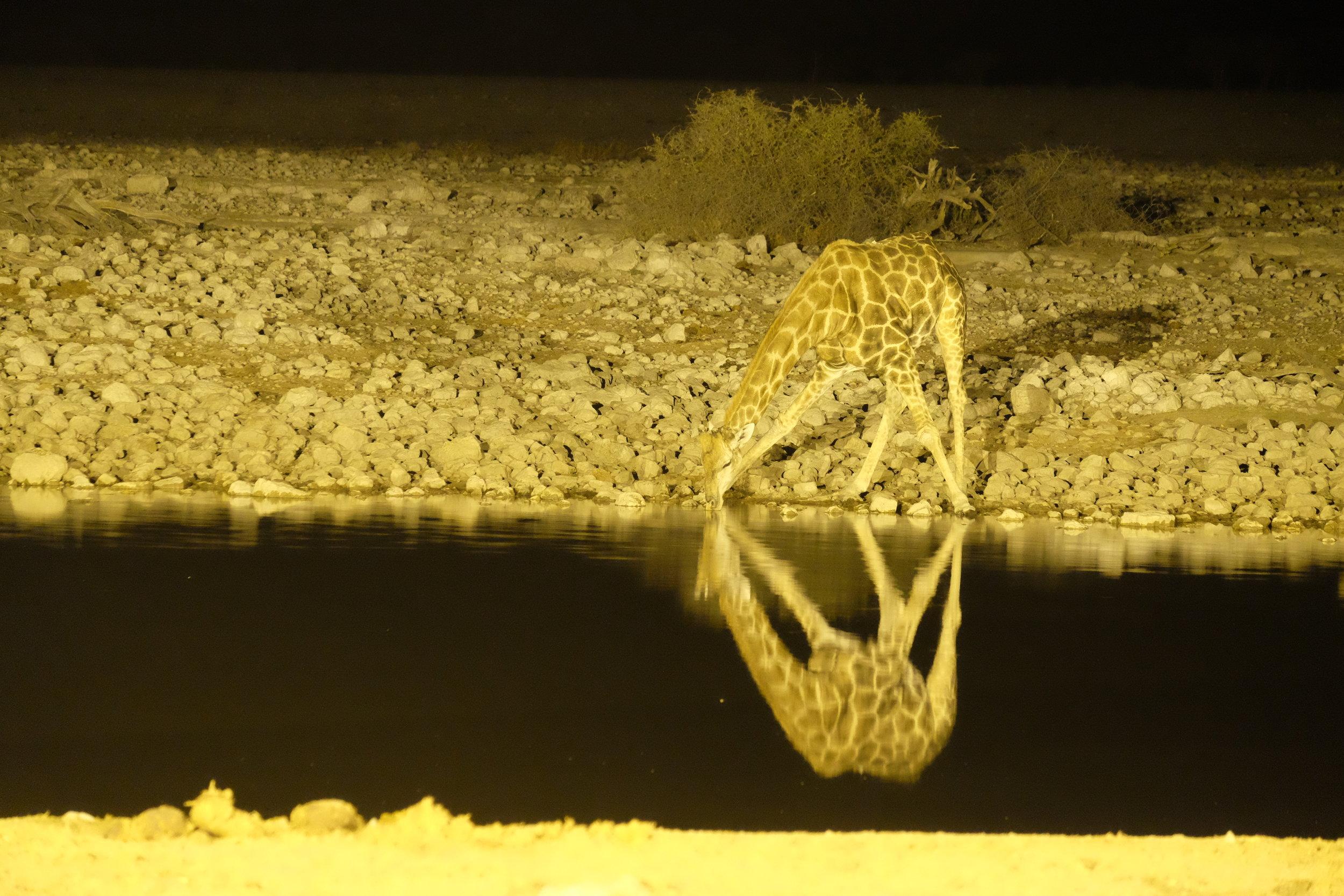 Water hole at Okaukuejo (Etosha)