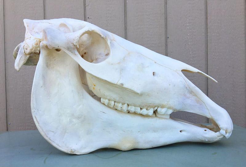 horse-skull-right-view-sm.jpg
