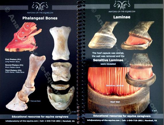 Equine Distal Limb Anatomy.png