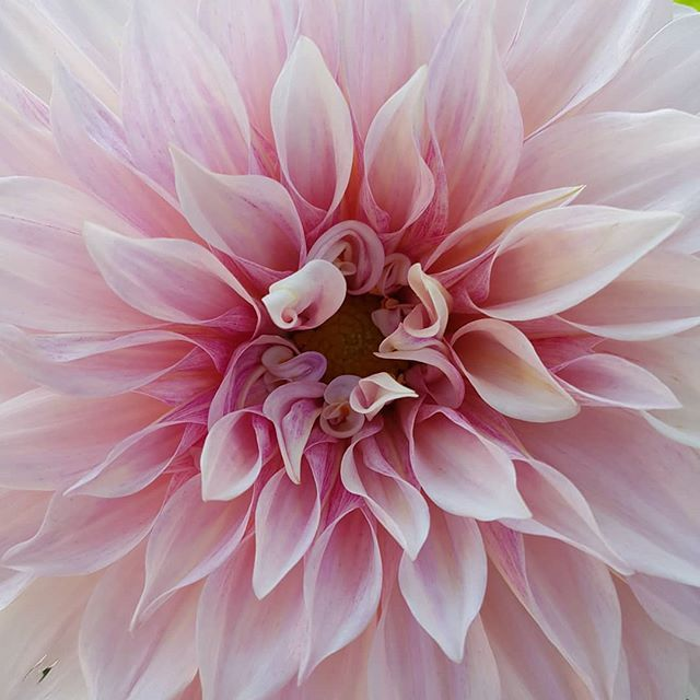 Dahlias have my heart 💓. This magical cafe grown by the one and only @broadsideflowers