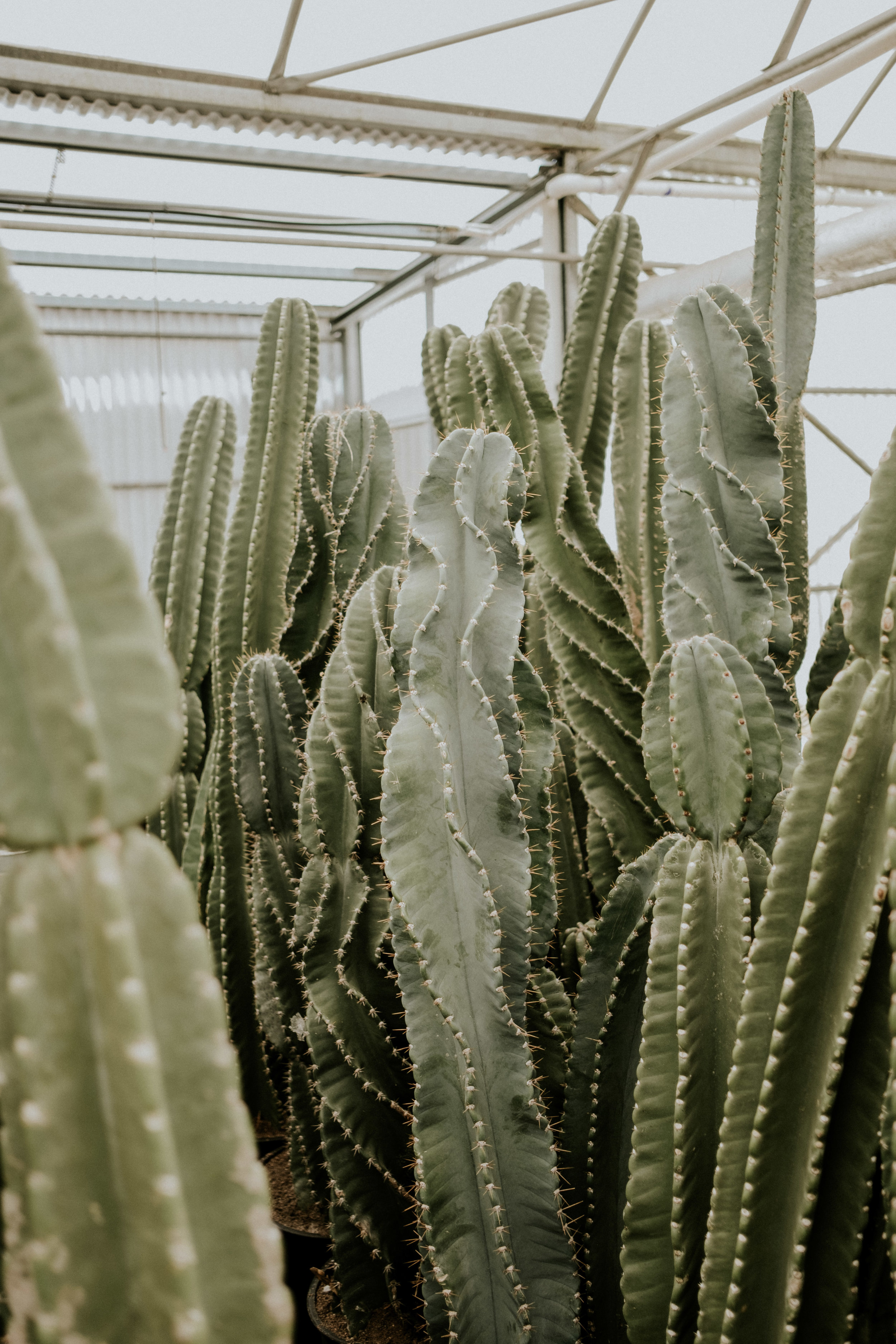 If all these babes weren't sold and backordered, I would have taken at least two home with me!! These tall guys are my favorite kind of cacti.