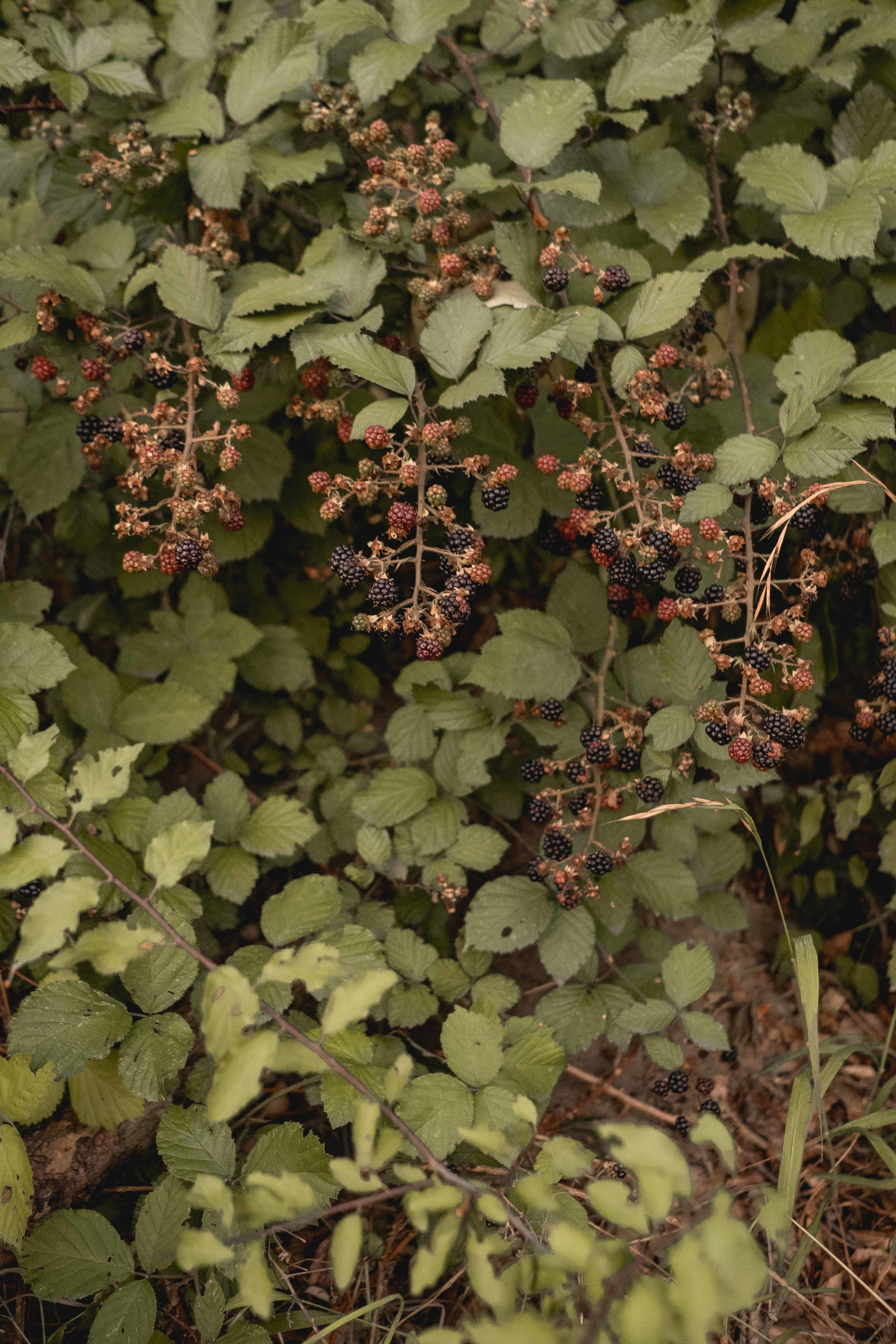 The before-mentioned, roadside blackberries, of course!