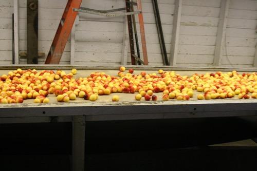 cherries on line.JPG.jpg
