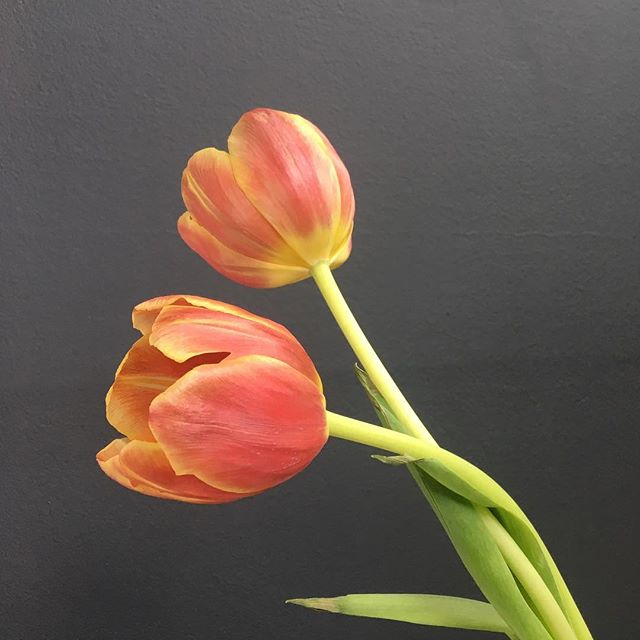 "Tulips! One of my favorite flower! Did you know that this elegant flower takes its name from the Persian word ""delband"" that means turban?! #tulips #flowers #floraldesigner #artofflowers #funfacts #classic #eleganceinablossom #woodswildbotanicals"