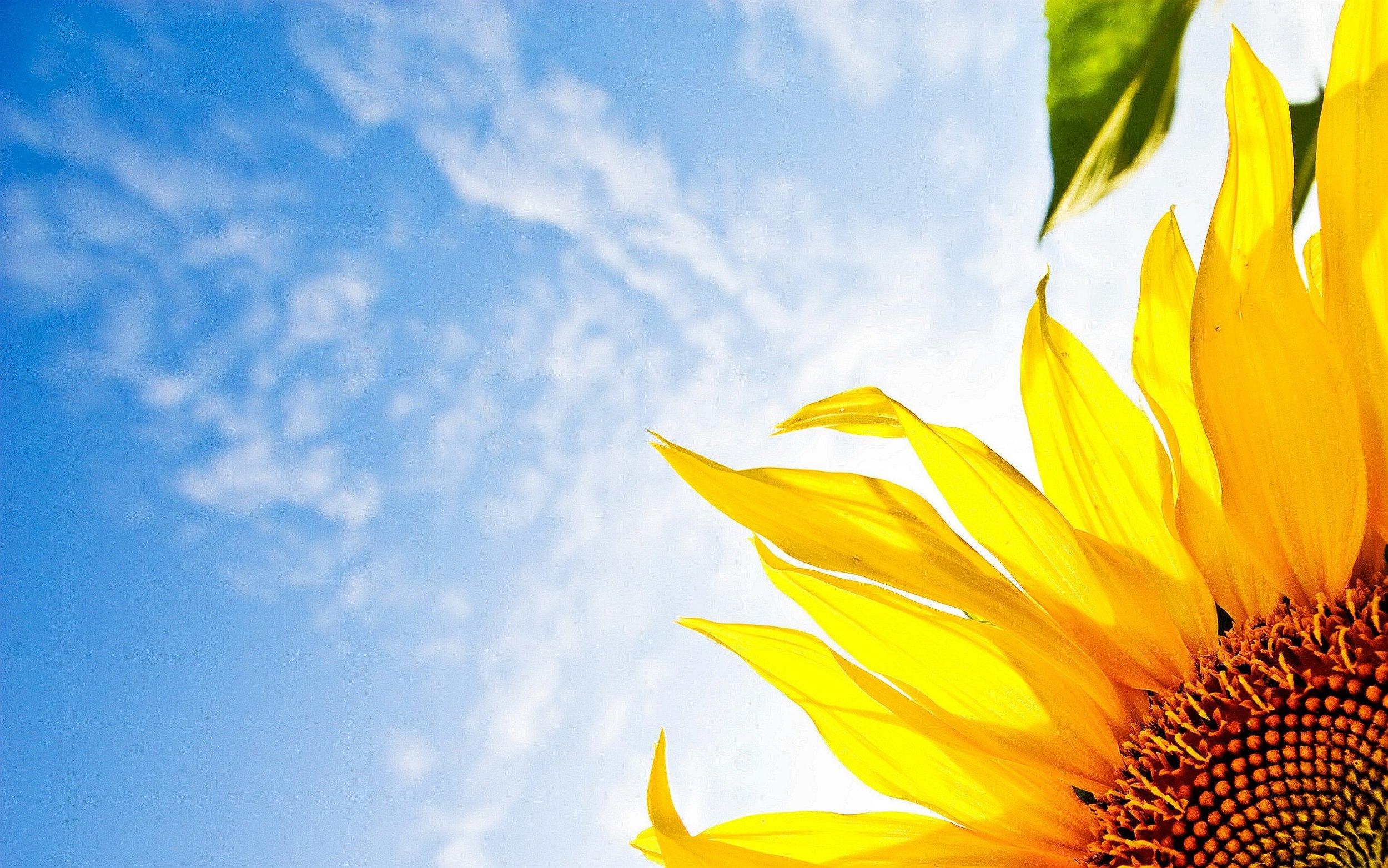 Sunflower-blue-Sky.jpg