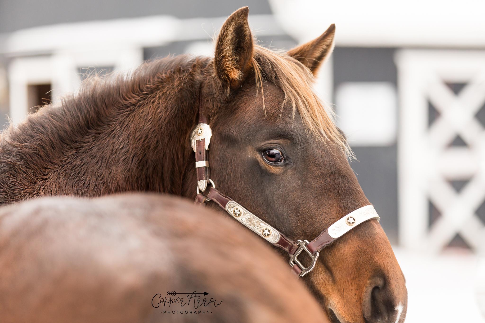 promote your stallion