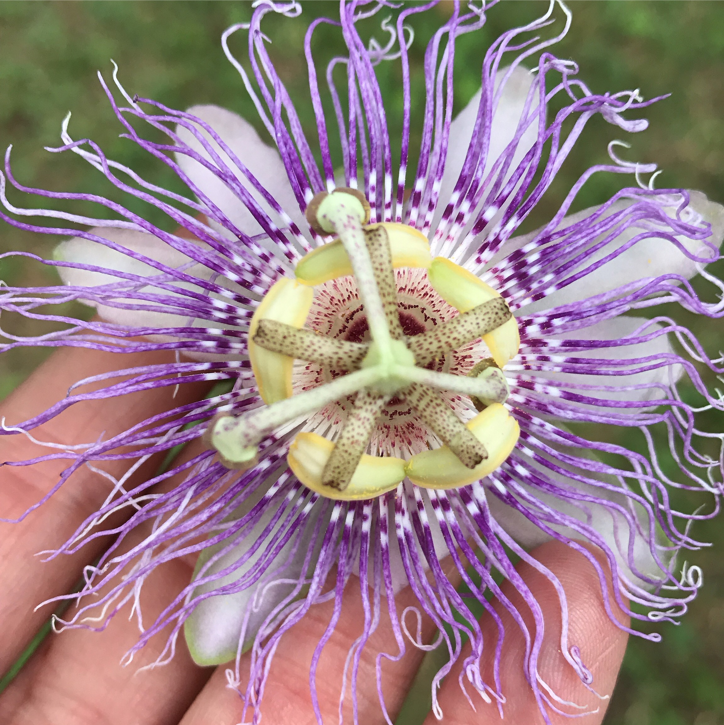 The strange and delicate beauty of the Passiflora incarnata (Passionflower).
