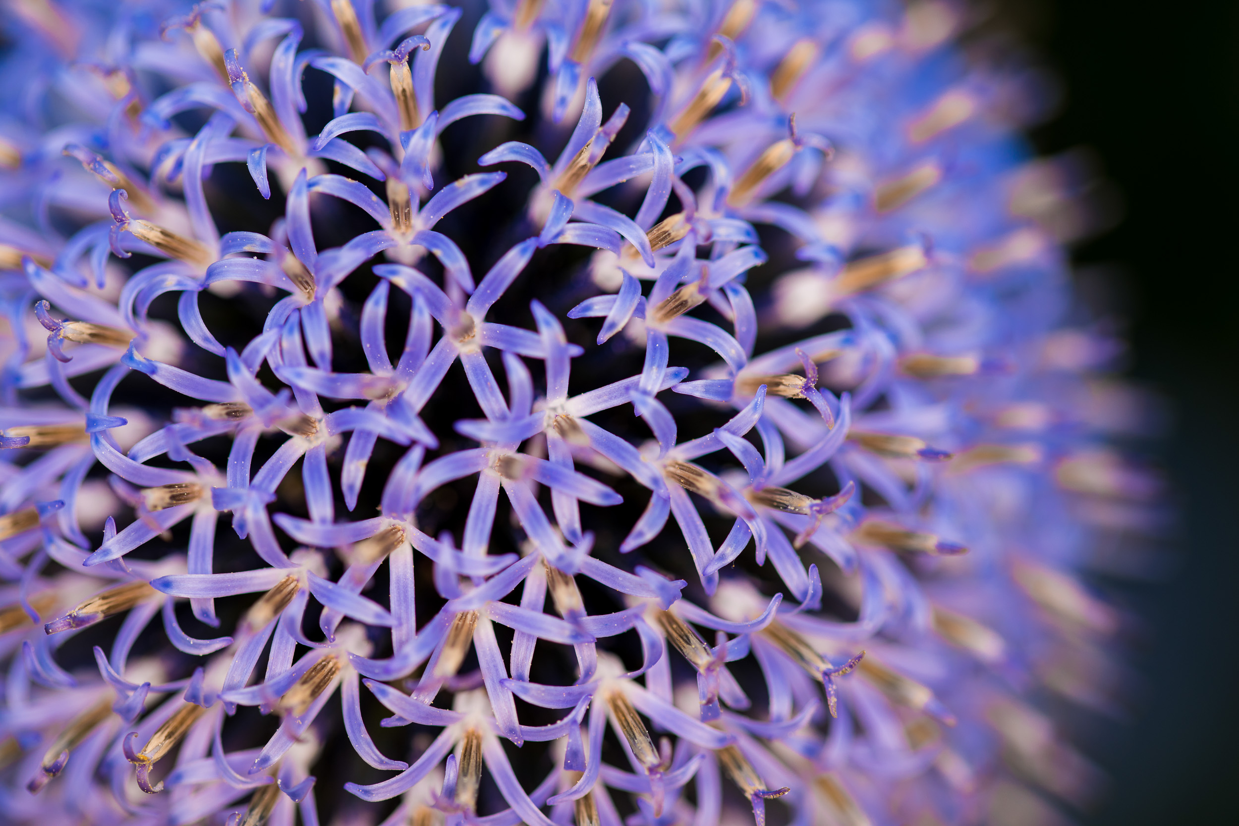 A photograph of a spherical flower