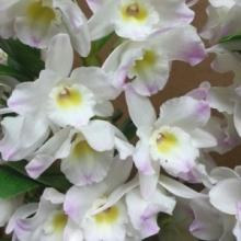 Nobile Dendrobium