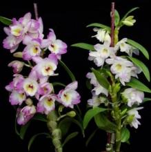 Nobile Dendrobium II