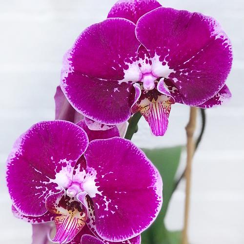 Variegated Purple