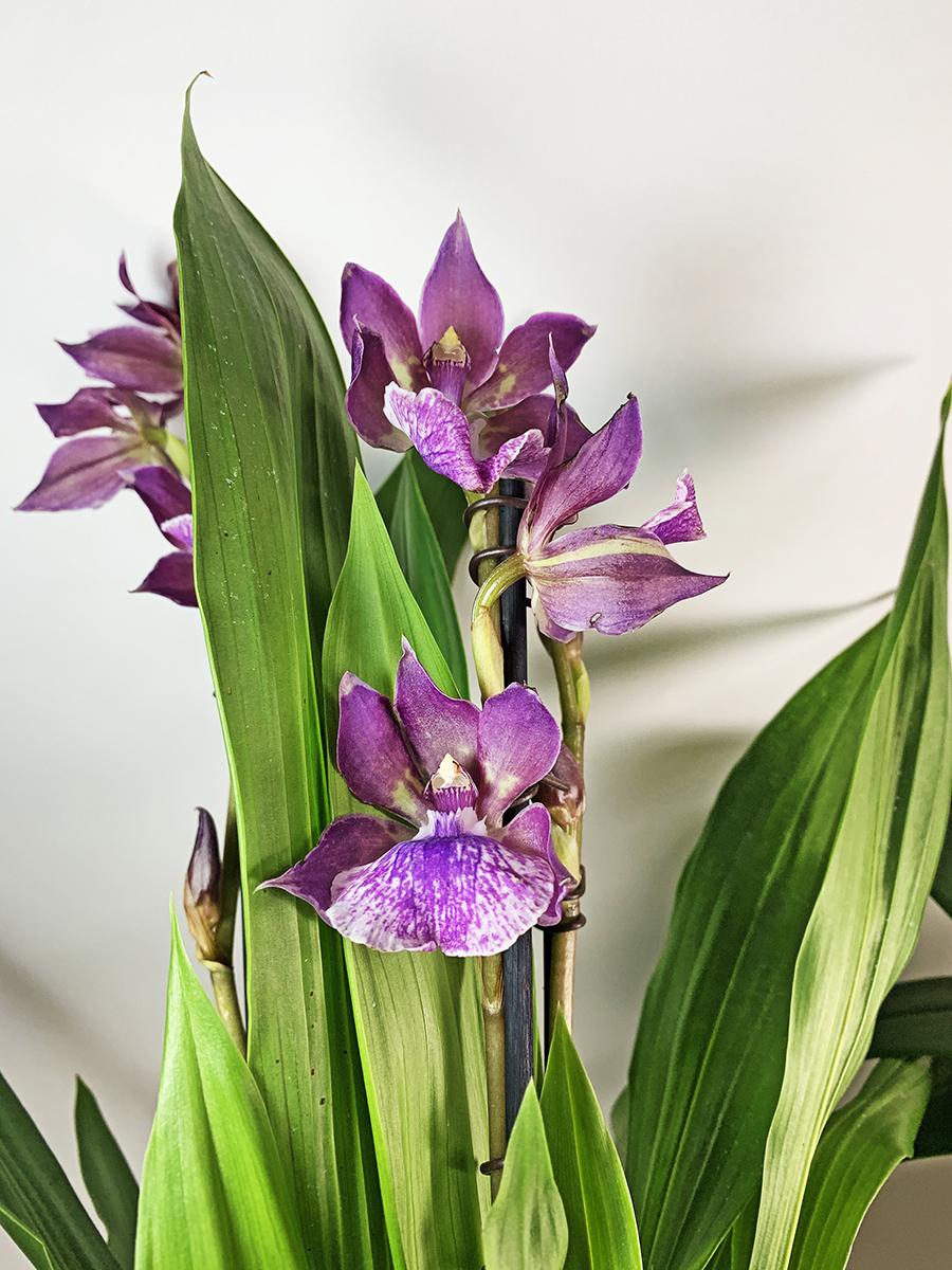 Lilac Zygo