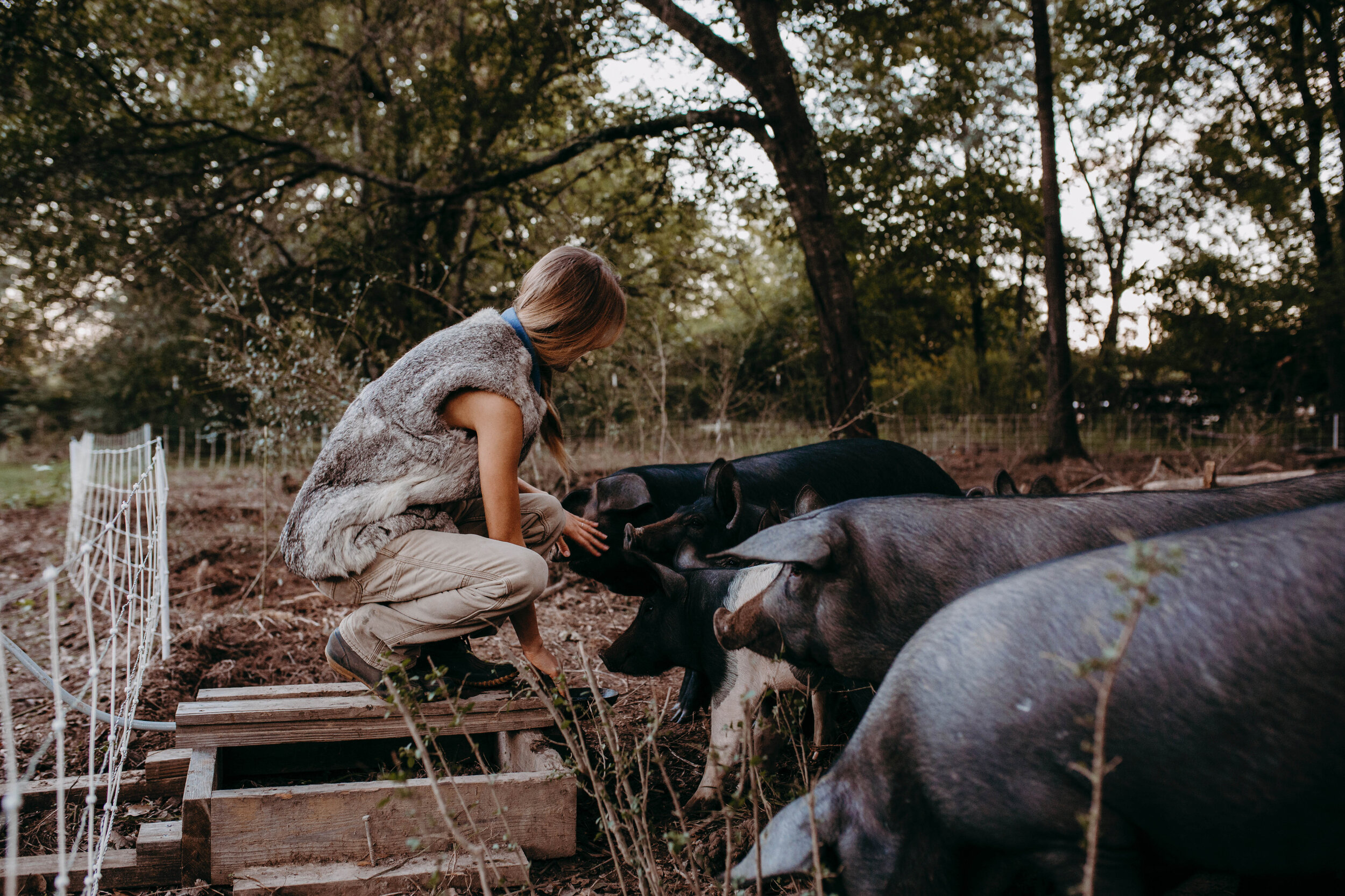 For a modern approach to the age-old science of rotational grazing, electric and portable fencing is used for the pasture-raised pigs at Sullifarm. They graze grasses throughout most of the year and eat acorns from under oak trees in the fall and early winter. (Photo by ThreeMoons Photography)