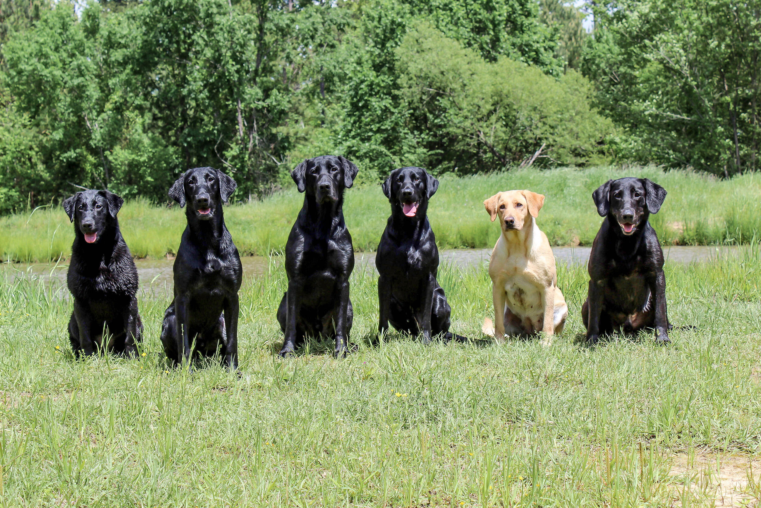 Cedar, Grizz, Clyde, Bruiser, Jewel and Beaux after a morning of training at Red River Retrievers. (Photo by Hannah Wren)
