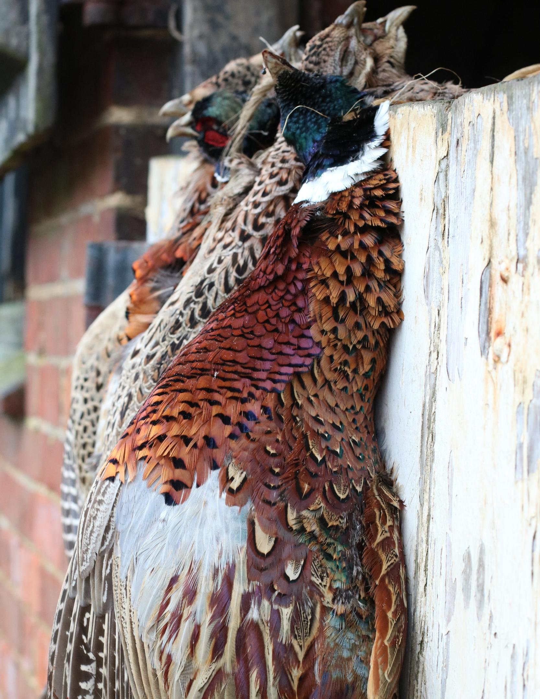 wild pheasants