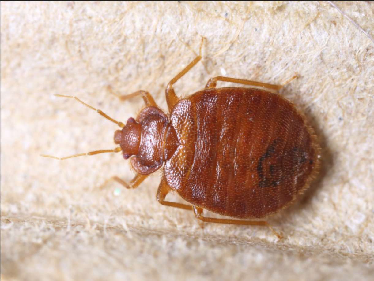 Bed bugs are parasitic insects in the genus Cimex that feed exclusively on blood.  Cimex lectularius, the common bed bug, is the best known as it prefers to feed on human blood.