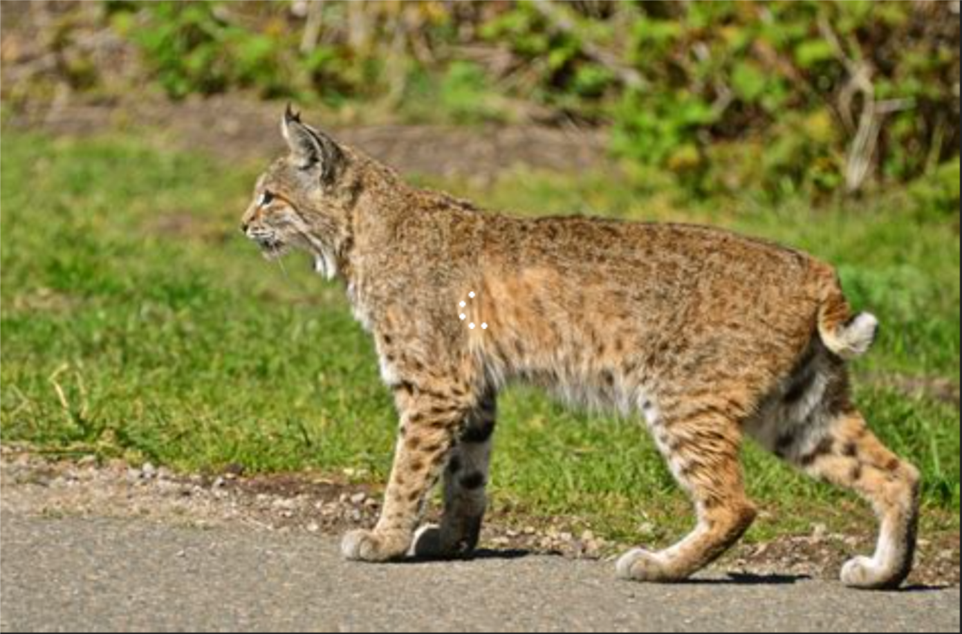 Forgot to mention, driving through the North Rim yesterday, I spied three bobcats crossing the road.  Braked to watch.  Lovely creatures.