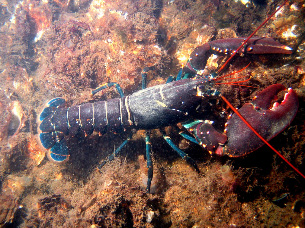 Lobsters scavenge if necessary, and are known to resort to cannibalism in captivity. Nasty.