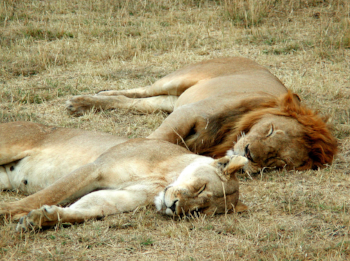 Let sleeping lions… A lion and a lioness sleeping in the Serengeti.  Vincenzo Gianferrari Pini  - Own work