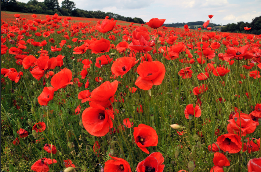 veterans poppies.png