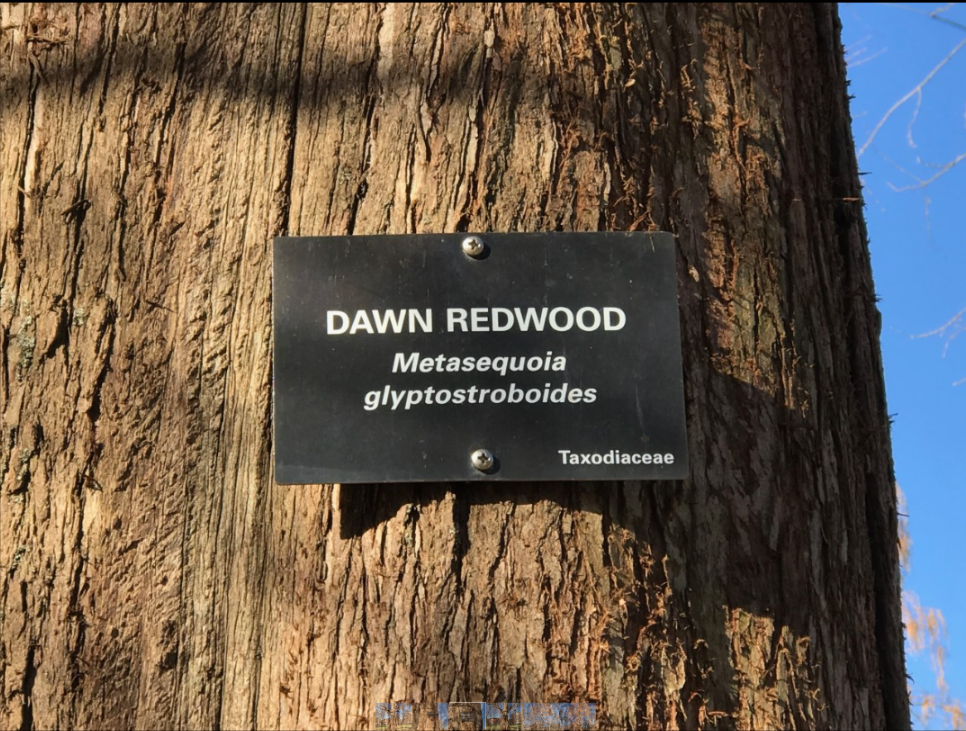 ode to dawn redwood placard.png