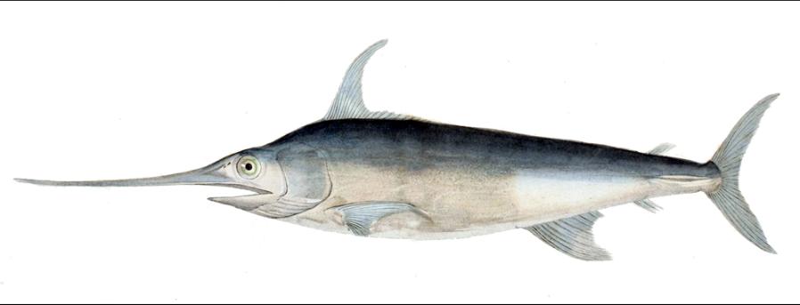 Xiphias gladius Werner - Histoire naturelle des poisons Swordfish