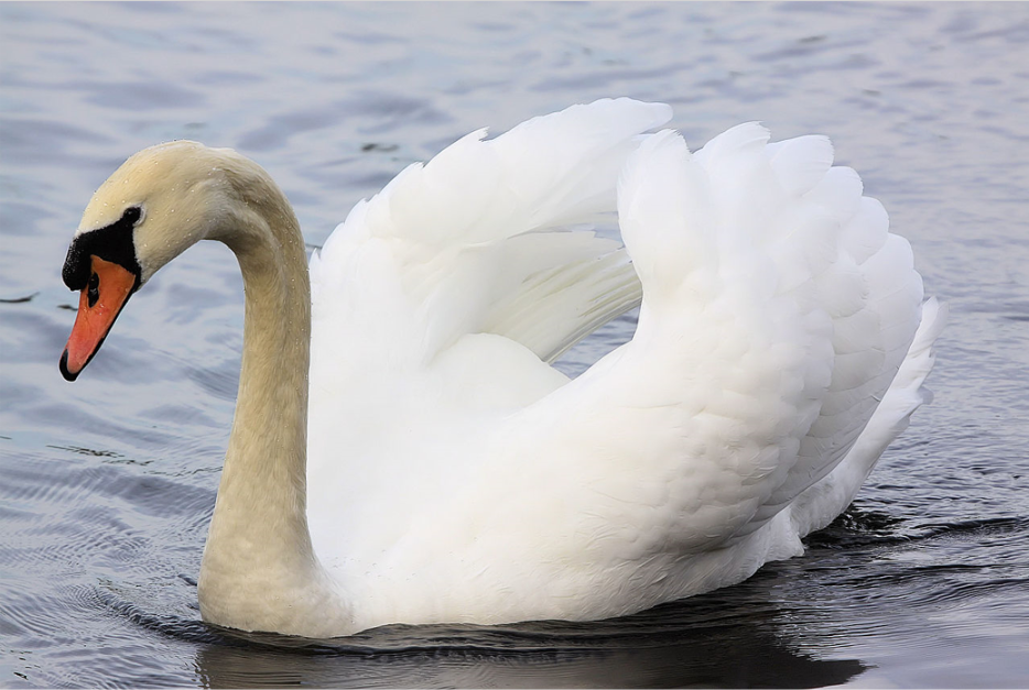 "The  swan  is often referenced in literature as an example of a ""graceful"" animal."