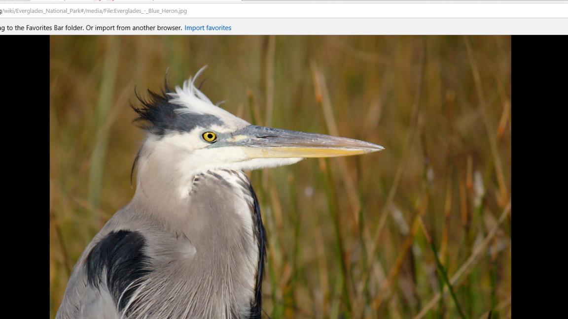 great blue heron head shot.png