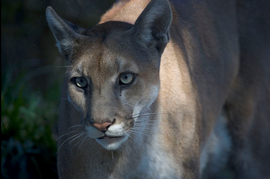 About 160 Florida panthers inhabit hammocks and pinelands of the Everglades.