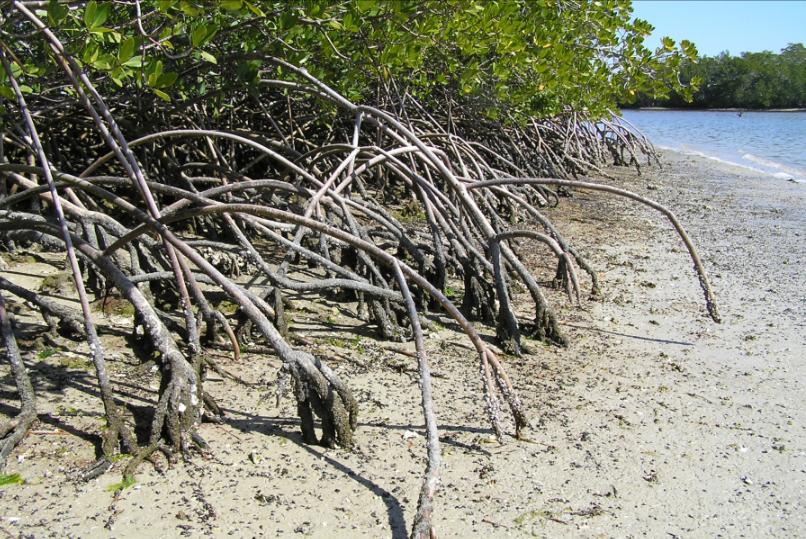 Mangroves reduce coastal erosion and shelter wildlife.