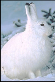 The  snowshoe hare , and some other animals, change color in winter.