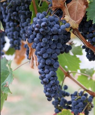 A grape is purple.