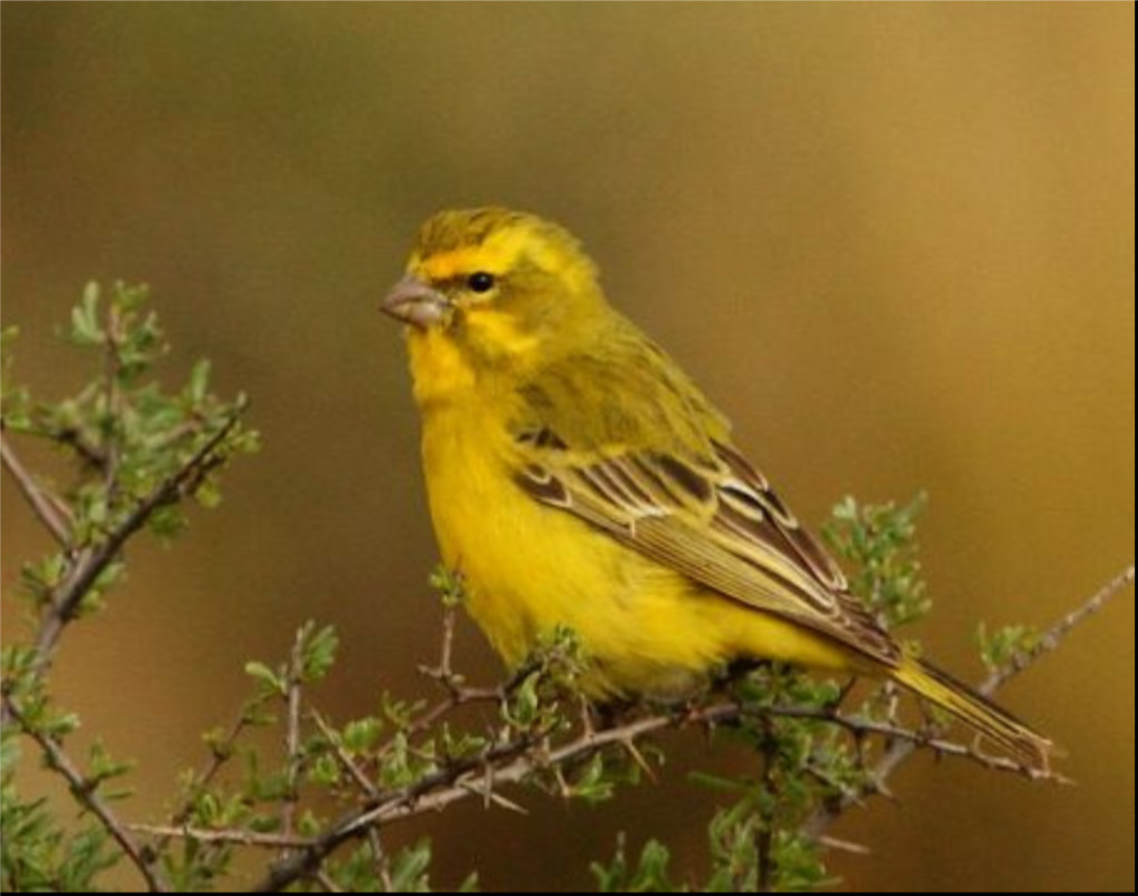 So you can tell them from canaries.   An adult male Yellow Canary in Great Karoo, Northern Cape, South Africa. Alan Manson - Flickr: Yellow Canary (Serinus flaviventris)
