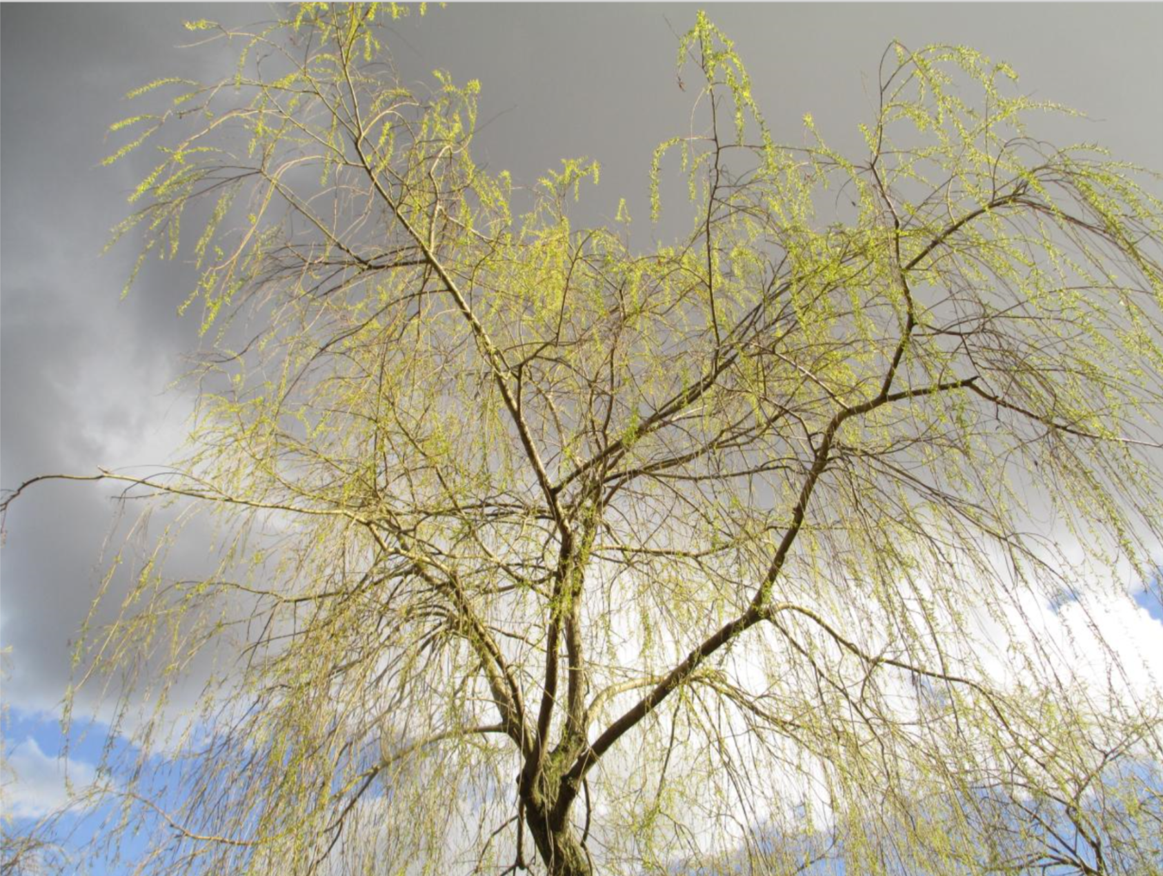 A willow in Stockholm in April 2016 Jacob Truedson Demitz for Ristesson Ent.