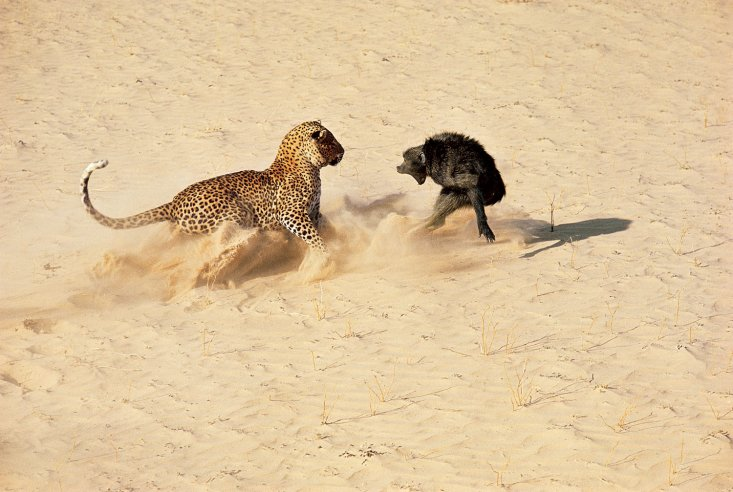 """Where's that damn monkey?"" the poodle says. ""I sent him off an hour ago to bring me another leopard!"""