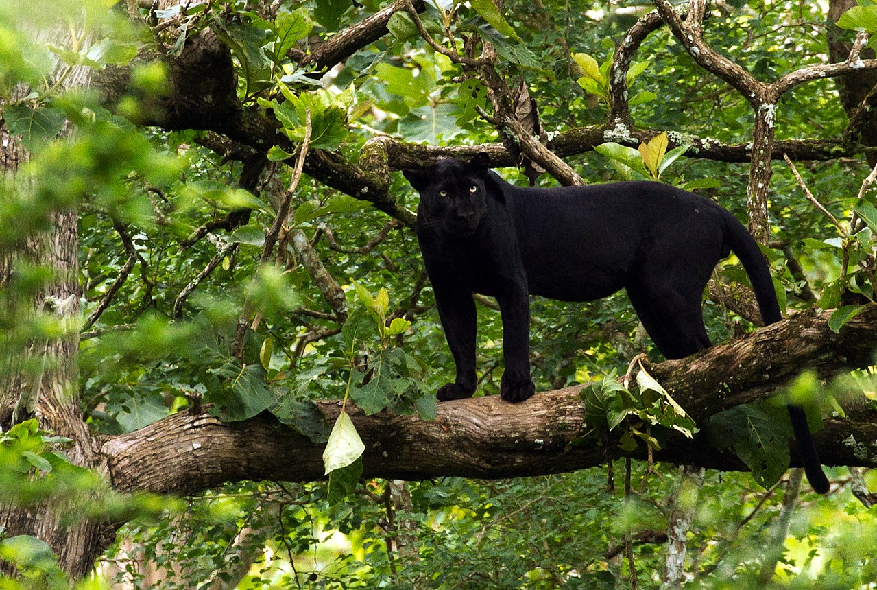 A melanistic Indian leopard in Nagarhole National Park. A black panther is the melanistic color variant of any big cat species.  Black panthers in Asia and Africa are leopards (Panthera pardus), and those in the Americas are jaguars (Panthera onca). D avidvraju  - Own work