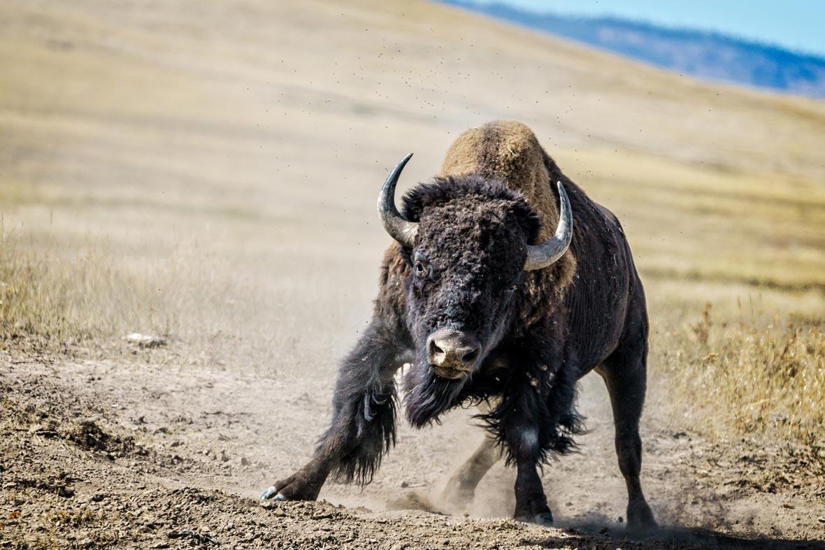 bull charging bison_charge_2_2017-07-10.jpg