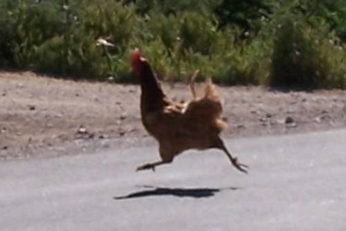 chicken cross road.jpg