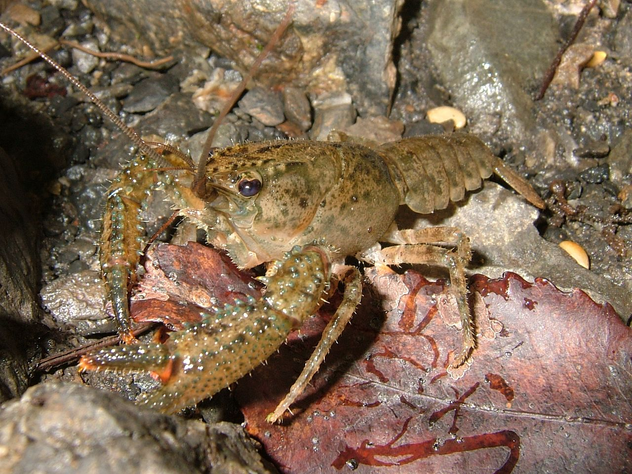 A crayfish Gusmonkeyboy at English Wikipedia - Transferred from en.wikipedia to Commons by Jacob  Robertson using CommonsHelper.