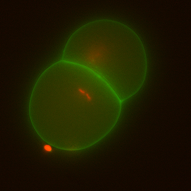 C. elegans  two cell embryo in which DNA (red) and the cell membrane (green) can be visualized