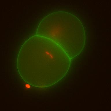 zyg1-embryo-2min_632_525_xx.jpg