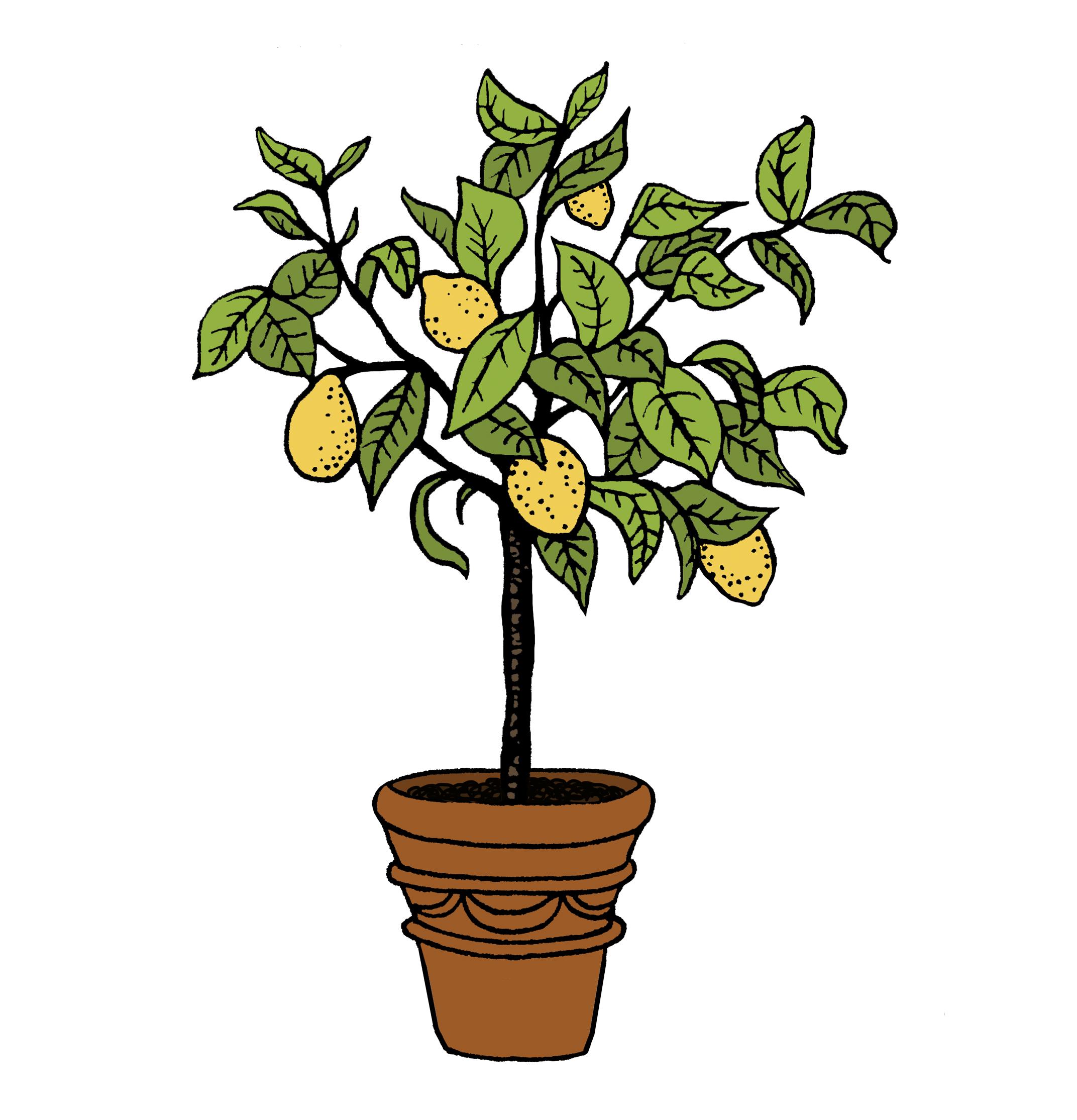 Lemon Tree by Autumn Newcomb