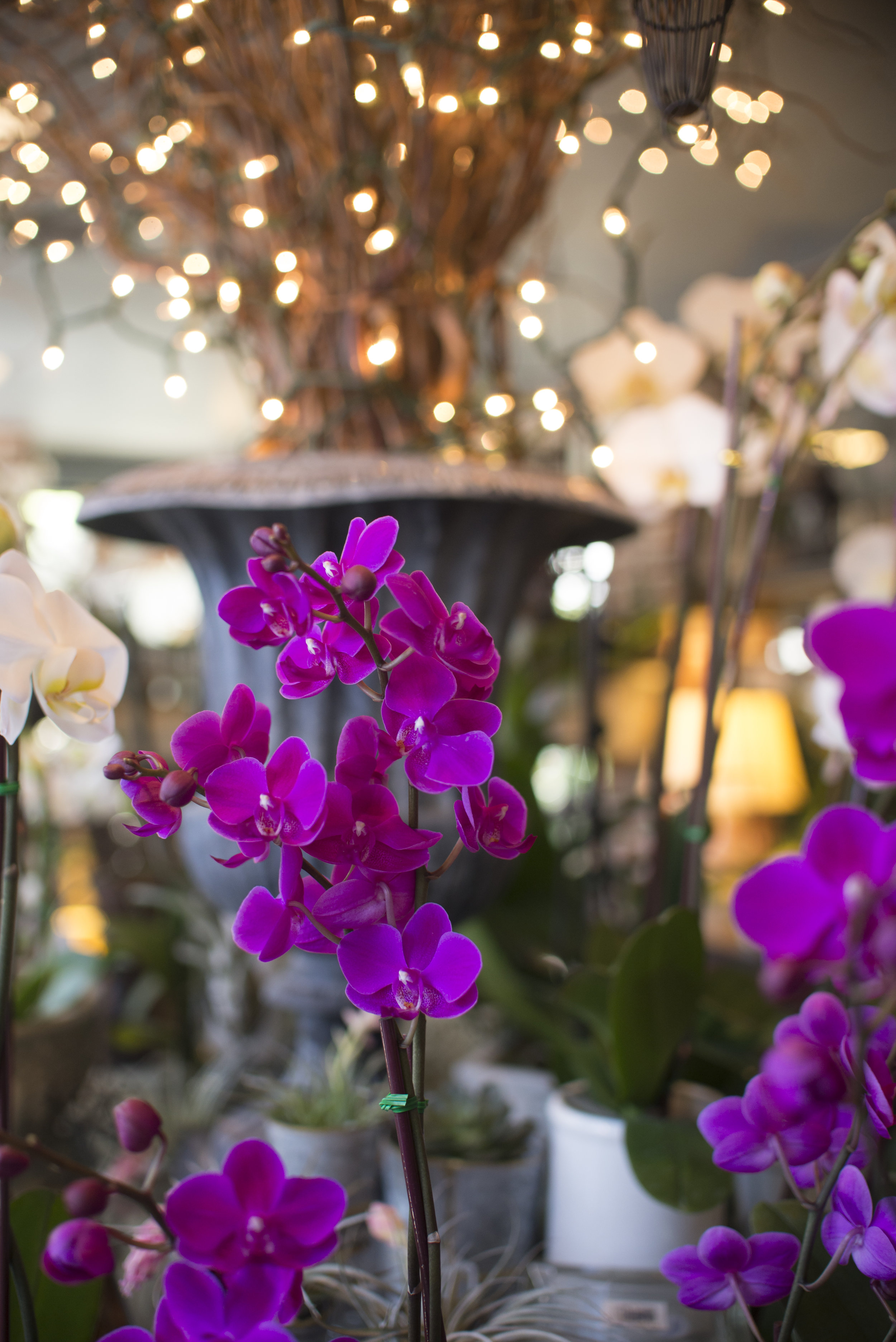 orchids little purple.jpg