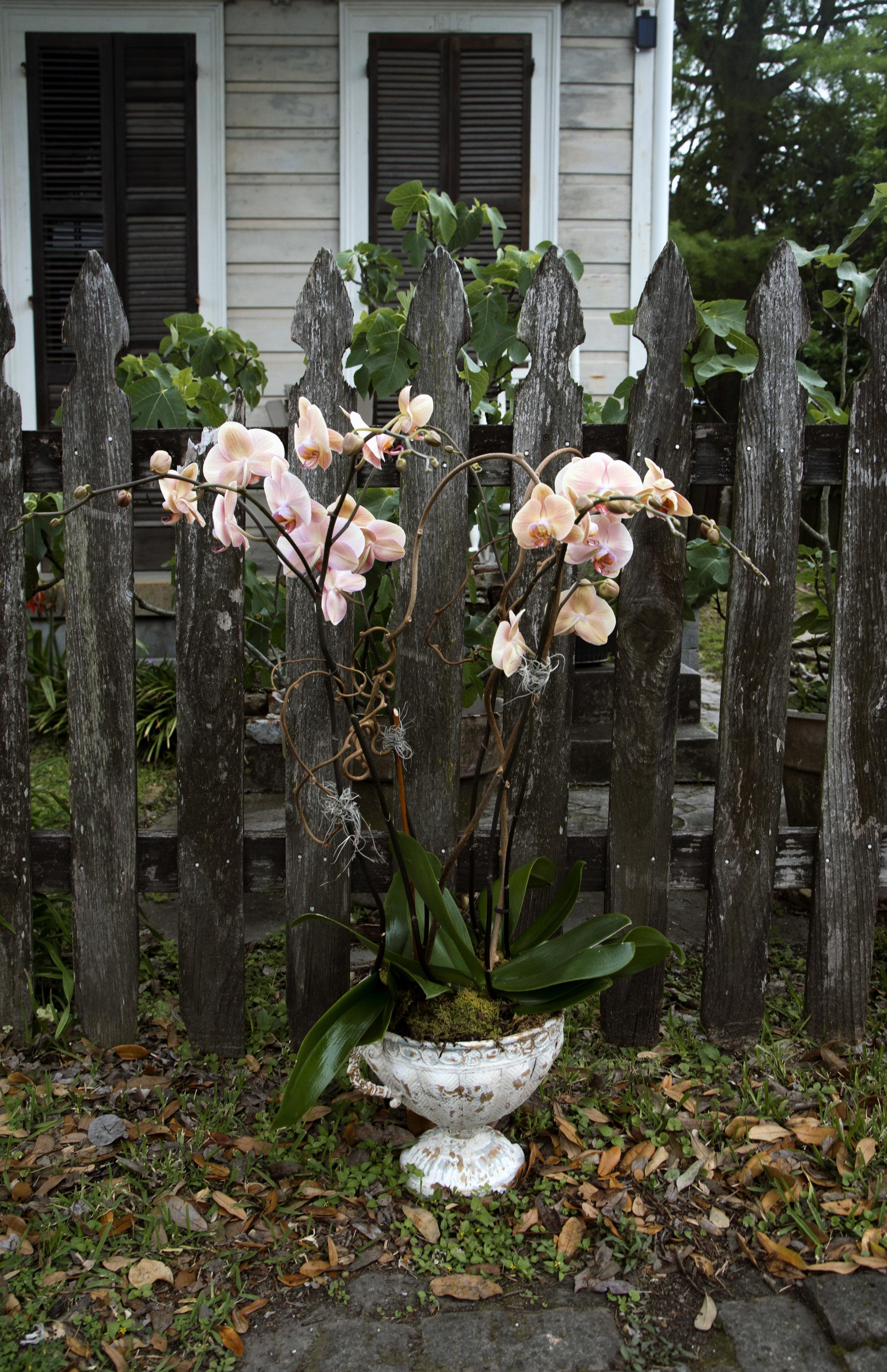 phalaenopsis orchids 6%22 peach mitchs flowers send an orchid plant near me flower shop stpehanie tarrant.jpg