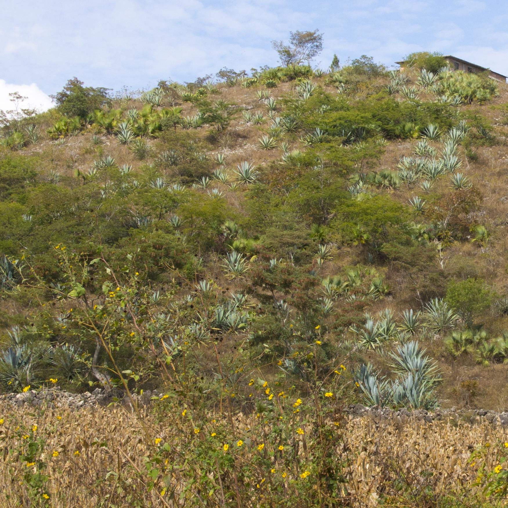 Siembra de maguey berraco en una parcela cerca de Chilapa.